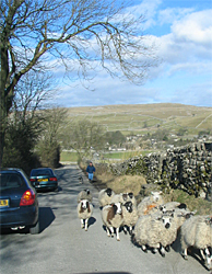 Sheep - near Malham in the Yorkshire Moors